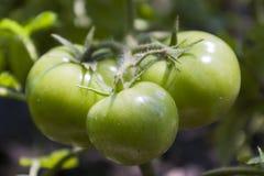 Natuurlijke ecologische groene tomaten Royalty-vrije Stock Afbeeldingen