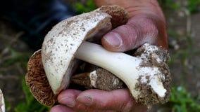 Natuurlijke eetbare paddestoelen, paddestoelen in een man hand, de man die paddestoelen verzamelen, stock videobeelden