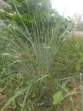 Natuurlijke Gavthi-theeboom stock fotografie