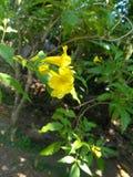 Natuurlijke Gele Bloem van Sri Lanka stock afbeeldingen
