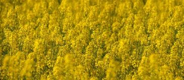 Natuurlijke Gele Textuur Als achtergrond Het gebied van het de lenteraapzaad stock foto's