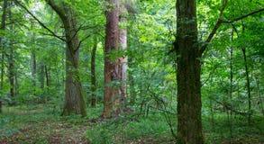 Natuurlijke gemengde tribune van Bialowieza-Bos royalty-vrije stock fotografie