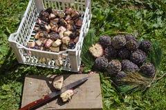 Natuurlijke geneeskunde Het snijden van Pinus de denneappels van Cembra royalty-vrije stock fotografie