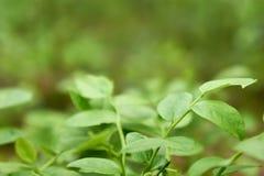 Natuurlijke groene achtergrond met nadruk op bosbes Royalty-vrije Stock Afbeeldingen