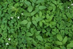 Natuurlijke groene achtergrond met witte bloemen Hoogste mening stock fotografie