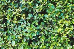 Natuurlijke groene bladmuur Royalty-vrije Stock Afbeeldingen