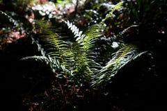 Natuurlijke groene varen in het bos in het Zonlicht Royalty-vrije Stock Fotografie