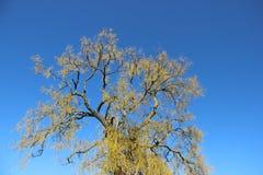 Natuurlijke Kleuren die Jonge Groene Bladeren in de Lente ontluiken royalty-vrije stock fotografie