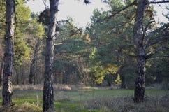 Natuurlijke kleuren van pijnboombos in de zon Zachte nadruk royalty-vrije stock fotografie