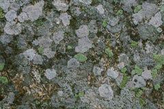 Natuurlijke korstmos en mosachtergrond en textuur Oude grijze die muur met korstmos en mos wordt behandeld Organische texturen en stock afbeelding