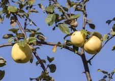 Natuurlijke kruising van appel Stock Foto's