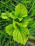 Natuurlijke kunst-Hydrangea hortensia Stock Foto