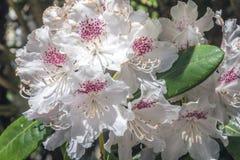 Natuurlijke mening van kleurrijke witte azalea die in de tuin onder natuurlijk zonlicht bij zonnige de zomer of de lentedag bloei Stock Afbeeldingen