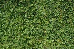 Natuurlijke muur van groene wilde wijn, textuur Stock Afbeeldingen