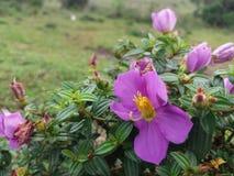 Natuurlijke Osbeckia-octandrabloem in Sri Lanka Stock Fotografie
