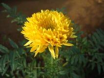 Natuurlijke paardebloem van de tuin van de peradeniyabloem royalty-vrije stock foto's