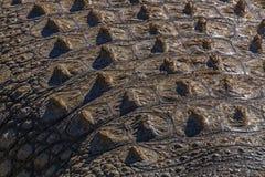 Natuurlijke Patronentexturen en Bezinningen over Krokodilhuid Royalty-vrije Stock Afbeelding
