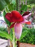 Natuurlijke rode banaanbloem royalty-vrije stock foto