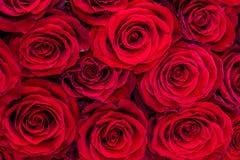 Natuurlijke rode rozenachtergrond royalty-vrije stock afbeelding