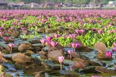 Natuurlijke roze lotusbloem in Lotus Lake Stock Afbeeldingen