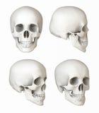Natuurlijke schedel, meningen Stock Afbeeldingen