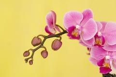 Natuurlijke schoonheids violette orchidee stock afbeeldingen
