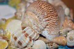 Natuurlijke shells royalty-vrije stock afbeelding