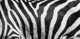 Natuurlijke textuur van de gestreepte huid Natuurlijke zwart-witte gestreepte achtergrond stock afbeelding