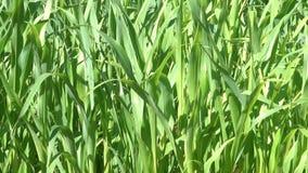 Natuurlijke vegetatieve screensaver van groene spruiten van graan stock videobeelden