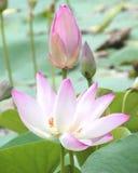 Natuurlijke Waterlelie, Mooi zonlicht en zonneschijn in de ochtend stock foto's