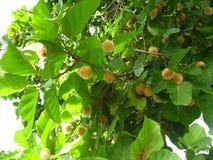 Nauclea orientalis Stock Image