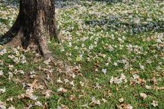naughty Arbusto cor-de-rosa de queda da trombeta na raiz da grama verde e da árvore fotos de stock royalty free