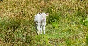Naughty Baby Cow on Meadow. Animals Baby Calf Sweet Ireland royalty free stock images