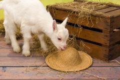 Naughty baby goat Royalty Free Stock Images