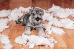 Naughty bad cute schnauzer puppy dog made a mess at home, destroyed plush toy. The dog is home alone. Naughty bad schnauzer puppy dog made a mess at home stock photography