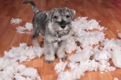 Naughty bad cute schnauzer puppy dog made a mess at home, destroyed plush toy. The dog is home alone. Naughty bad schnauzer puppy dog made a mess at home stock image