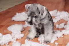 Naughty bad cute schnauzer puppy dog made a mess at home, destroyed plush toy. The dog is home alone. Naughty bad schnauzer puppy dog made a mess at home stock images