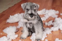 Naughty bad cute schnauzer puppy dog made a mess at home, destroyed plush toy. The dog is home alone. Naughty bad schnauzer puppy dog made a mess at home royalty free stock photography
