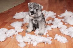 Naughty bad cute schnauzer puppy dog made a mess at home, destroyed plush toy. The dog is home alone. Naughty bad schnauzer puppy dog made a mess at home stock photo