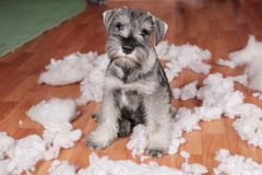 Naughty bad cute schnauzer puppy dog made a mess at home, destroyed plush toy. The dog is home alone. Naughty bad schnauzer puppy dog made a mess at home royalty free stock image