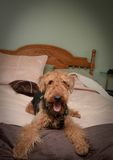 Naughty, bad dog. Naughty, bad, Airedale terrier dog sprawled on bed Royalty Free Stock Photo
