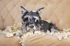 Naughty bad schnauzer puppy dog lies on a couch that she has just destroyed. Mischief puppy chew furniture royalty free stock photography