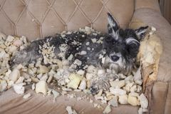 Naughty bad schnauzer puppy dog lies on a couch that she has just destroyed. Mischief puppy chew furniture stock photos