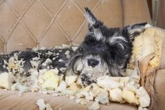 Naughty bad schnauzer puppy dog lies on a couch that she has just destroyed. Mischief puppy chew furniture stock photo