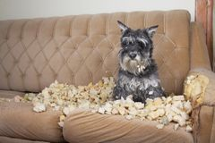 Naughty bad schnauzer puppy dog lies on a couch that she has just destroyed. Mischief puppy chew furniture royalty free stock photos