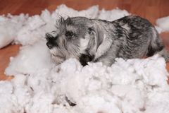 Naughty bad cute schnauzer puppy dog made a mess at home, destroyed plush toy. The dog is home alone. Naughty bad schnauzer puppy dog made a mess at home royalty free stock photo