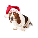 Naughty Basset Hound Santa Hat Royalty Free Stock Photography