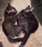Naughty black kittens playing Royalty Free Stock Image
