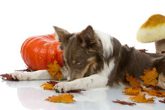 Naughty border collie Stock Photo