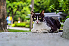 A naughty cat at Lumphini Park in Bangkok. A naughty cat live in Lumphini Park to receive Thai people and foreigner around the world. It invite everybody to Royalty Free Stock Image